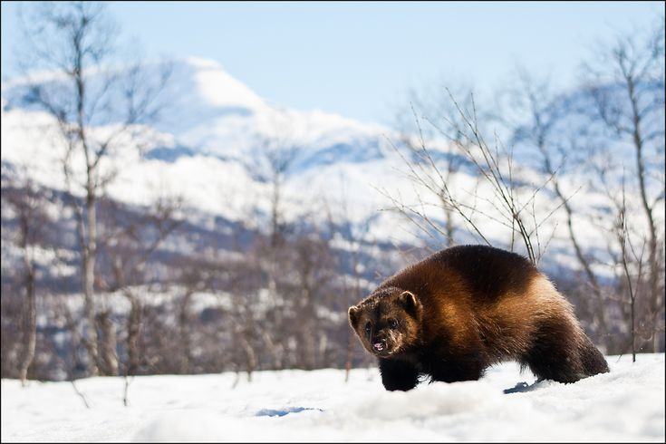 All sizes | Wolverine, mountain | Flickr - Photo Sharing!