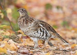 List of birds of Pennsylvania From Wikipedia, the free encyclopedia   The Ruffed Grouse is the official state bird of Pennsylvania.[1] A com...