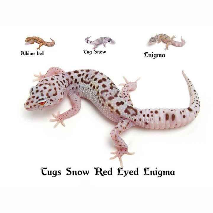Leopard Gecko Tung Snow Red Eyed Enigma | Leopard gecko