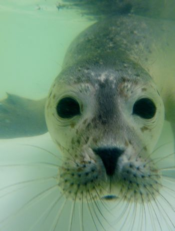 Deze close-up van een jonge Gewone zeehond laat goed zien wat een prachtige bos snorharen ze hebben! Deze snorharen worden gebruikt om trillingen in het water te voelen, zo hebben ze razendsnel door waar mogelijke prooien zich bevinden.