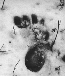 Is Bigfoot real? Do track casts stand as supporting evidence for a large harry bipedal creature lurking in remote wilderness areas? Join Ghost Writer as he steps into the mystery, and maybe into some squatch.