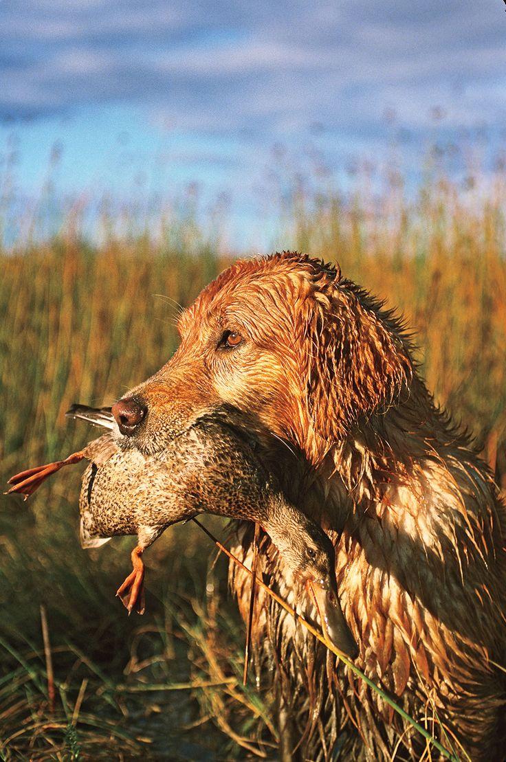 GUN DOG's Favorite Working Retriever Photos - Gun Dog Magazine