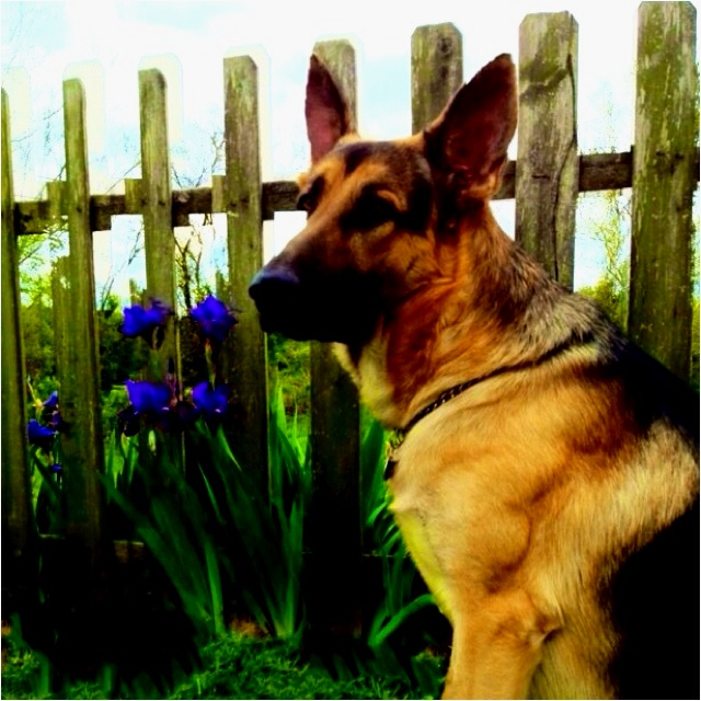 Blitz ~ THE German Shepherd 20 months: Germanshepherd, German Shepherd