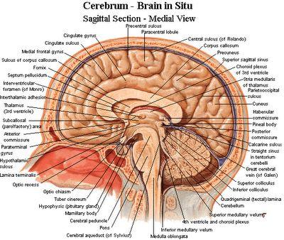 neuroanatomy...I am pretty sure I had to memorize every single one of these...
