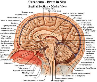 neuroanatomy...I am pretty sure I had to memorize every single one of these...