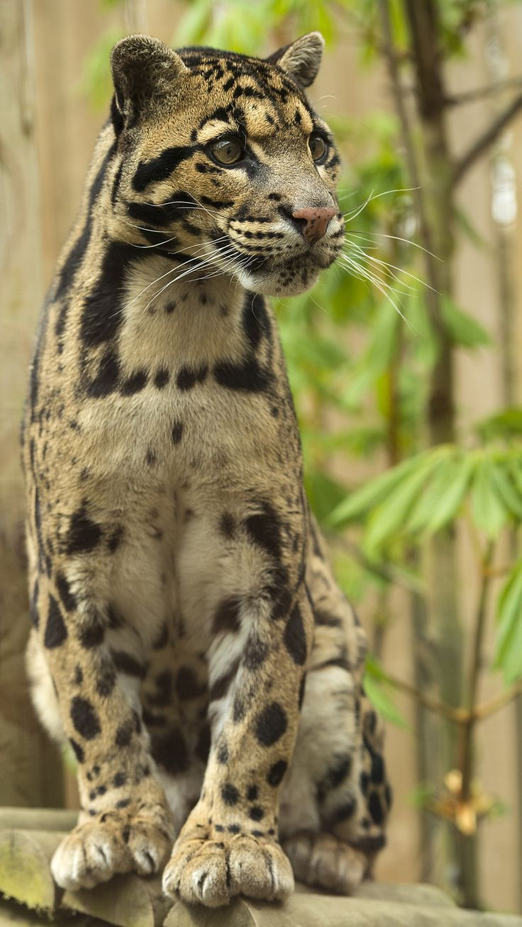 Clouded Leopard. #cats #animals