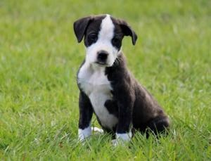 Mixie is an adoptable Boxer Dog in Orlando, FL. Mixie is a total sweetheart. she's 8wks old. Pictured is her mother who is a purebred Olde Valley Bulldogge. Created by crossing the Boxer with the engl...