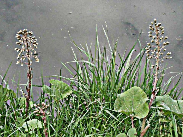 Tóparti növények