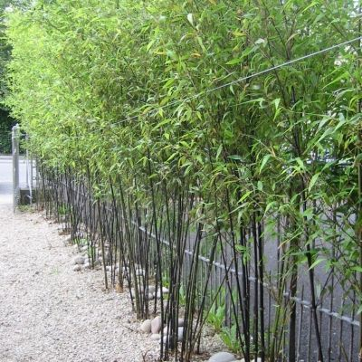 Phyllostachys nigra, Black Bamboo, Harcourt Terrace, Dulin 2 (planted by Howbert and Mays)
