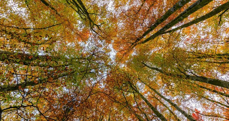 Autumn Forest Canopy - Colourful autumn forest canopy.
