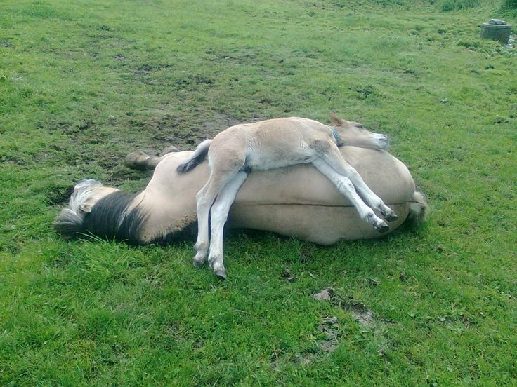 Double-decker equines. Fjord mare and foal.