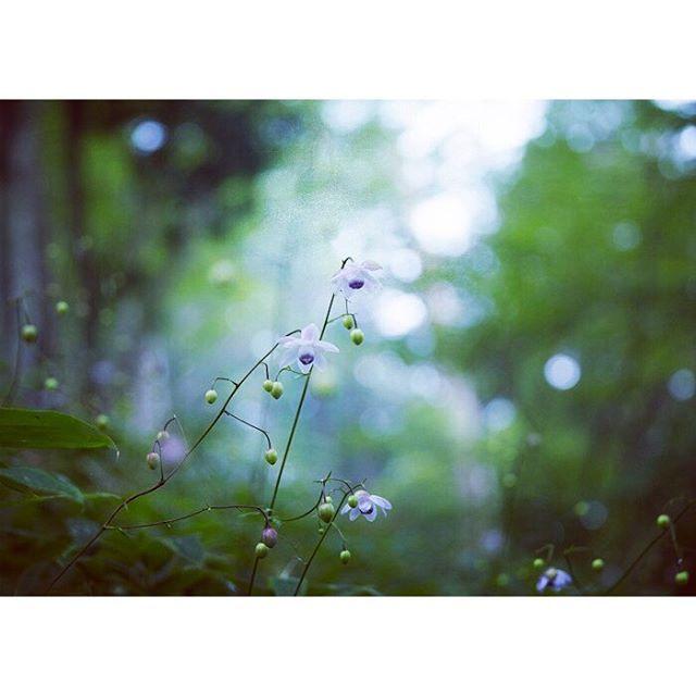 【lapislazuli54】さんのInstagramをピンしています。 《森の小悪魔  こんなに小さいのにしっかり森を支配している。精霊たちのしたたかさに参ってしまう。 毎年御岳山に私を呼ぶ力、、なんなんでしょう  今日はアトリエ^o^  楽しみなイチニチ(*^^*) #レンゲショウマ群生地 #レンゲショウマ#flowers  #flowerstagram #forest #はなまっぷ夏2016 #御岳山#6d#canon6d #canon #森# 似たような写真ですみません》