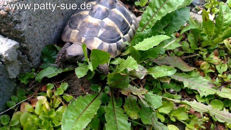 Um gesund zu sein, benötigen Schildkröten Wärme, deshalb ist Sonne wichtig. Informationen zur Haltung von griechischen Landschildkröten erhaltet ihr auf: www.patty-sue.de