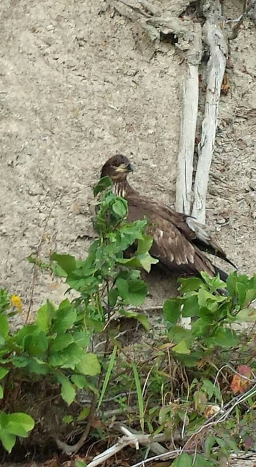 Golden Eagle...Immature Bald Eagle