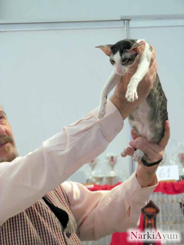 NarkiAyun Arma Mortal, Black Spotted Tabby & White Oriental Shorthair Male