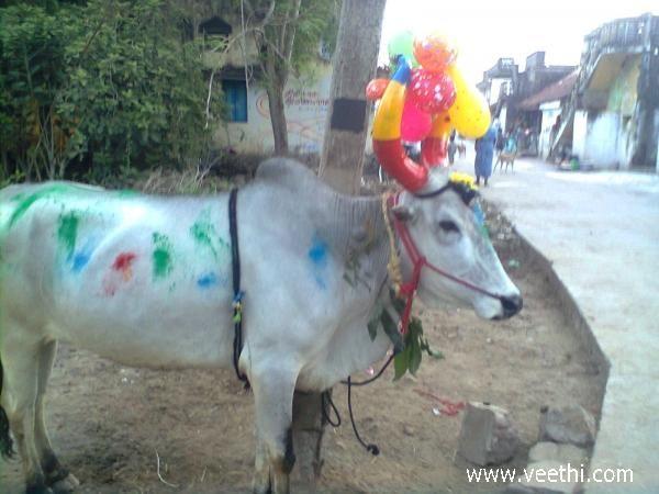 Mattu Pongal Celeberation, Kanchipuram