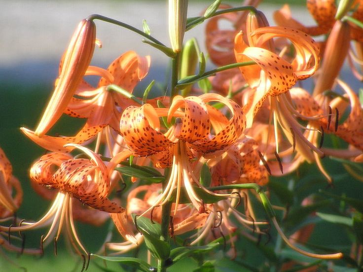 tiger lily. plant in mid to late fall. no special care required- fertilizer is only needed in poor soil. thrive in moist to wet soil.