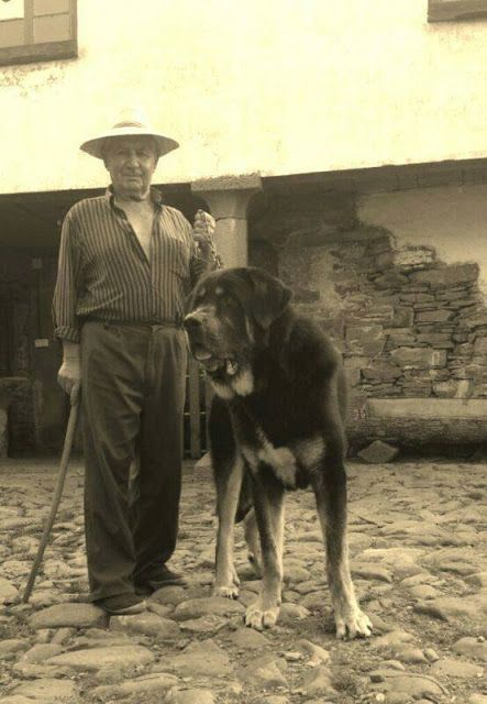 The Spanish Mastiff Livestock Guardian Dog: The Working Spanish Mastiff: A Lion, Not a Mouse