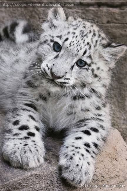 I Dont Really Want To Own One Despise Domestication Leopard KittenBaby Snow