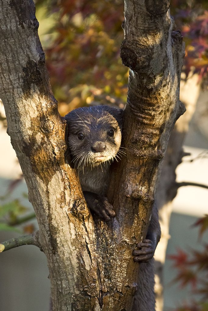 Otter's realization: Now that I am in the tree, how do I get down? - June 17, 2012