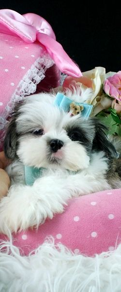 Teacup Shih Tzu.  Geez, Louise, isn't this a pretty picture?!