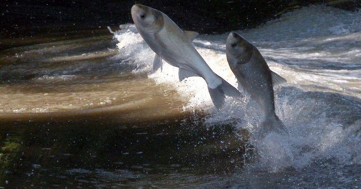Invasive Asian carp less than 50 miles from Lake Michigan