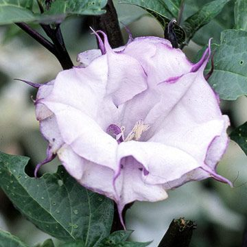 black currant moon flower-or ballerina purple datura