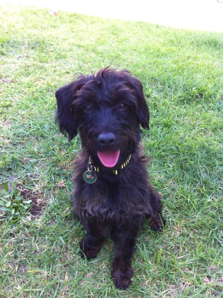 Rosie is a 3 year old Poodle x. The last of Laila's babies she enjoys playing with her brother Freddy, belly rubs and back scratches