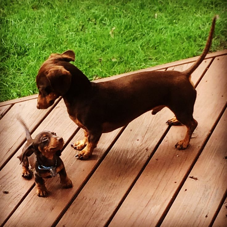 """""""I'm older and you have to listen or I'll tell mama!"""" #dogs #pets #Dachshunds #puppies Facebook.com/sodoggonefunny"""