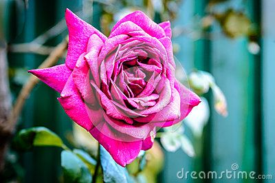 Rose Purple - Download From Over 26 Million High Quality Stock Photos, Images, Vectors. Sign up for FREE today. Image: 45386723