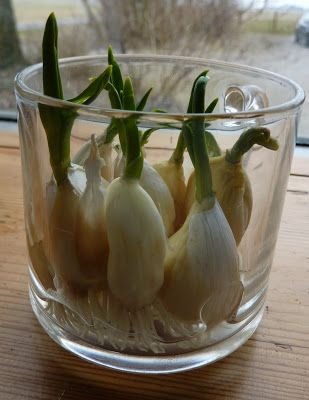 Garlic in water..