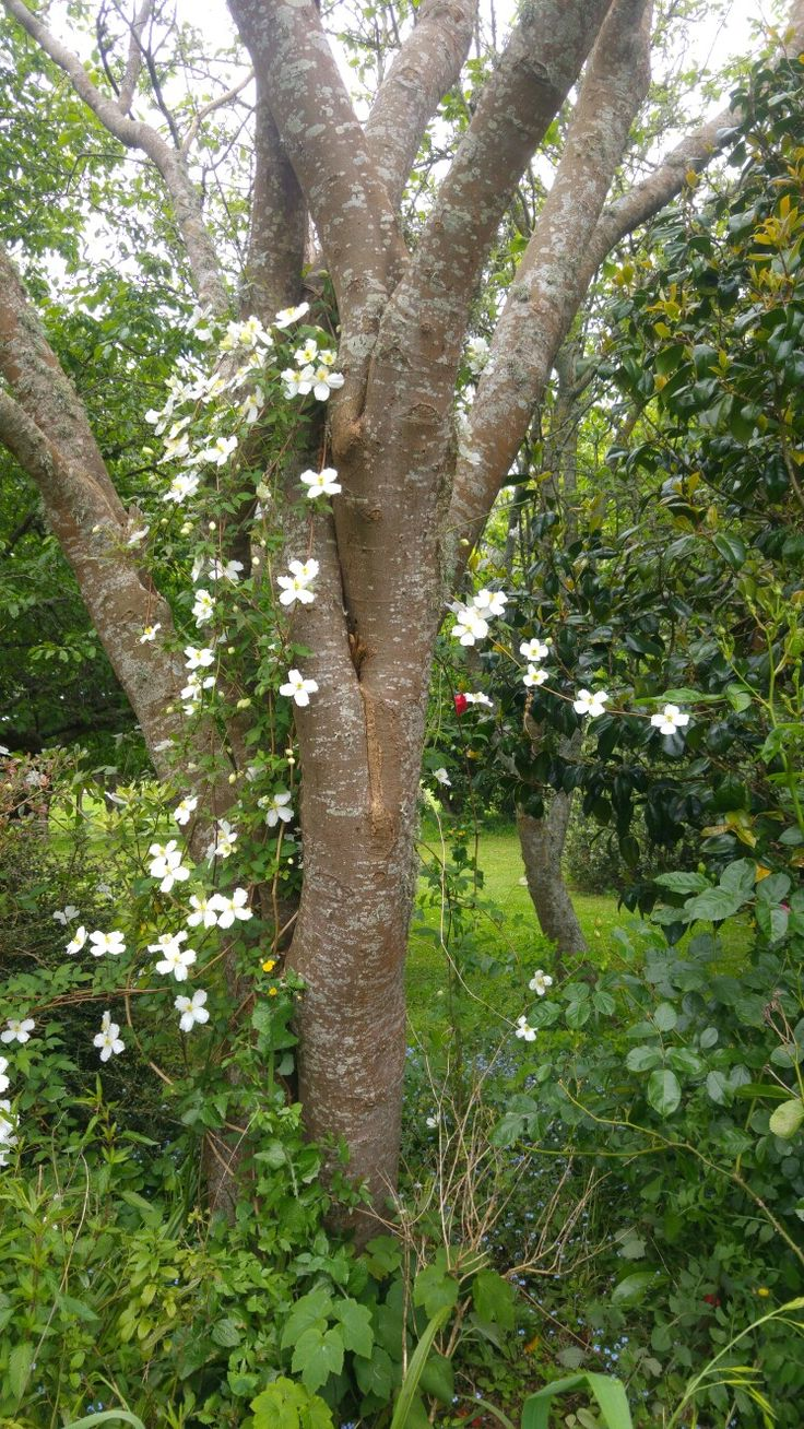 White Clematis. 17