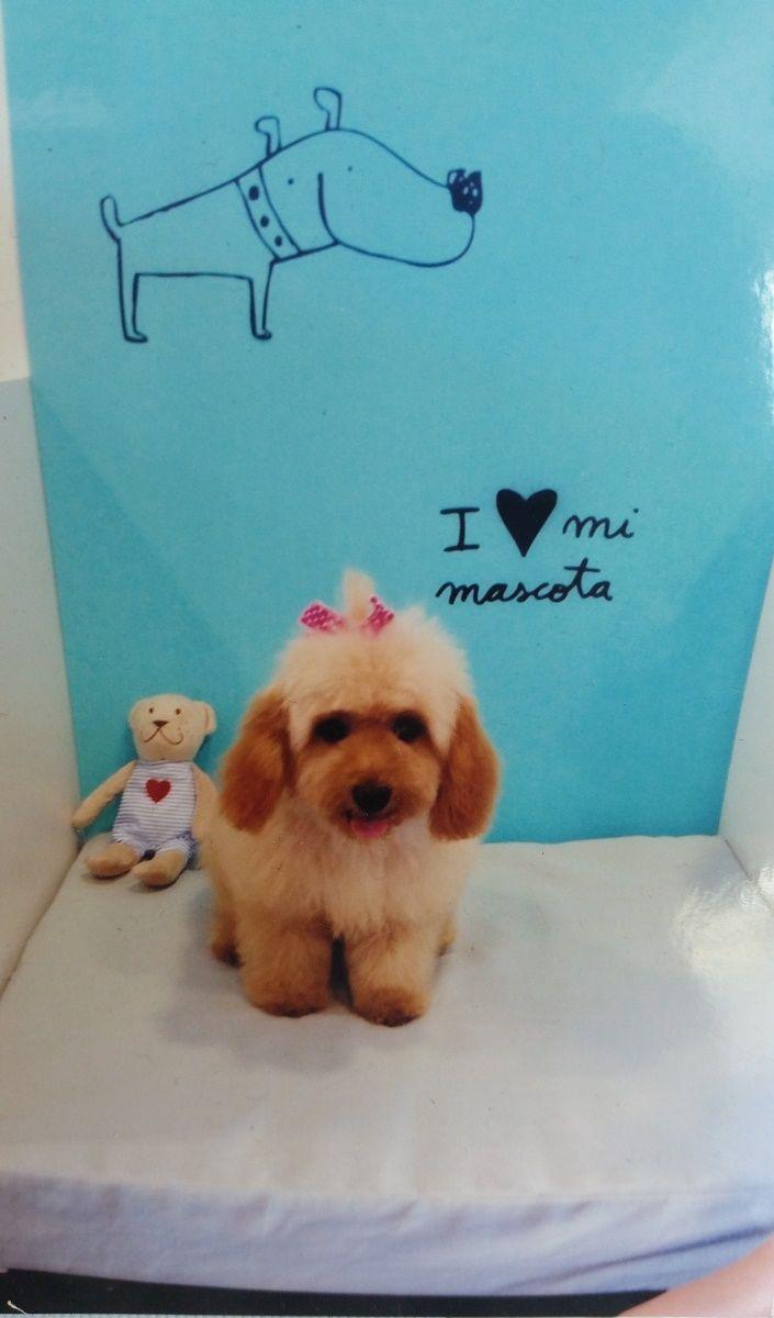 Cloe recién salida de la #peluqueria Dog's Affaire