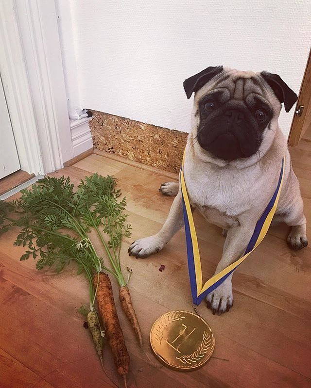 #Repost @kjelleddie  I entered a gardening competition today and can you believe it. I won first price!  #crazypants #dog #dogs #dogoftheday #dogsofinstagram #dogstagram #pug #pugs #pugstagram #pugsofinstagram #pugsnotdrugs #pets #petstagram #animals #obsessedwithpugs #darklordpug #squishyfacecrew #flatnosedogsociety #garden #carrots #competition #nr1 #winner #perfect #cute #love #barkhappy #food