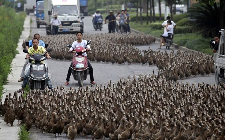 Farmers herd a flock of about 5000 ducks along a street towards a pond as residents drive next to them in Taizhou, Zhejiang province