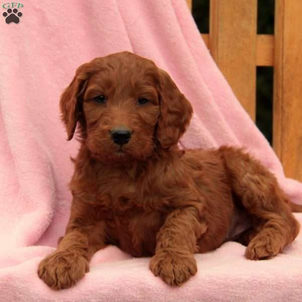 Bella Irish Doodle Puppy For Sale In Pennsylvania Dogs