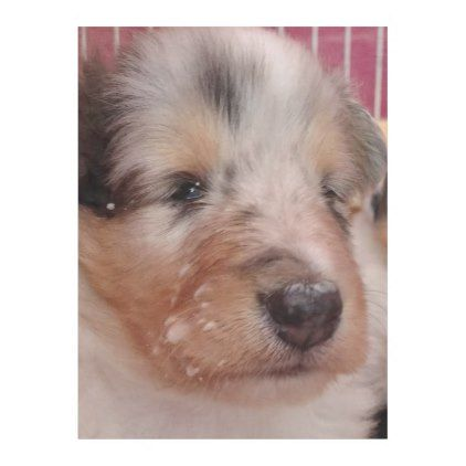 Rough Collie Puppy Face Fleece Blanket | Zazzle.com   – baby gifts