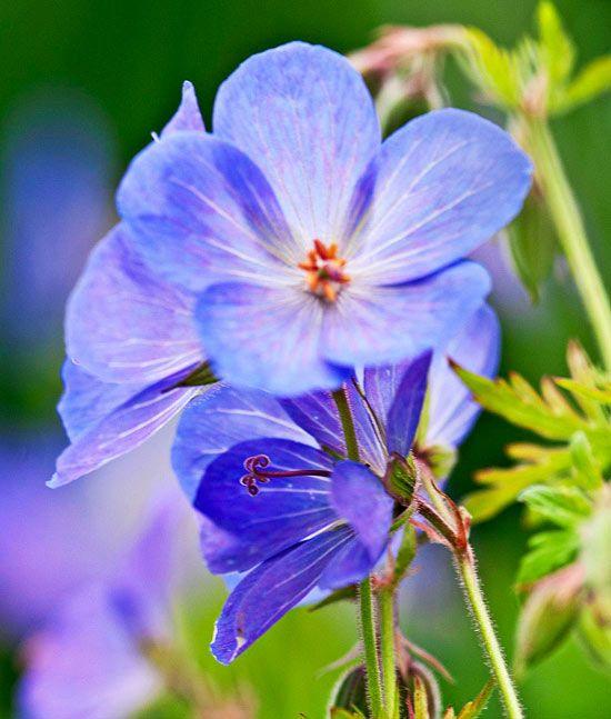 Geranium 'Johnson's Blue' is a true blue, a rarity in the garden world. - Traditional Home ®/ Photo: Kindra Clineff