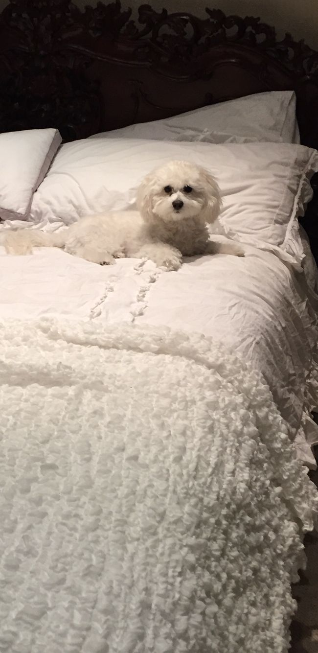 444 Best Images About Maltipoo On Pinterest Poodles