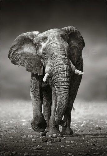 Poster Elefantenbulle nähert sich