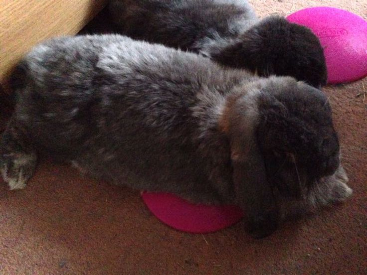 Keep rabbits cool in summer with a frozen icepod