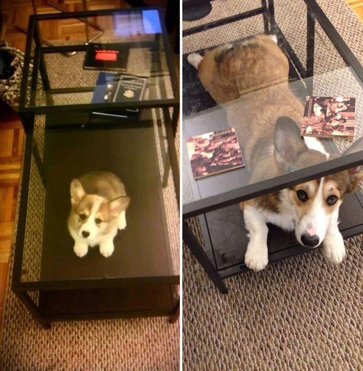 21 de imagini drăguțe cu câini înainte și după ce au crescut « aflati.ro