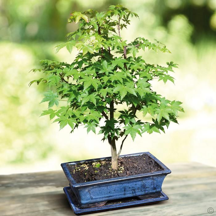 http://www.tuinflora.com/index.php?/Bonsai-Bomen/Bonsai-Acer-Green-Glory-20-cm-pot-1-boom
