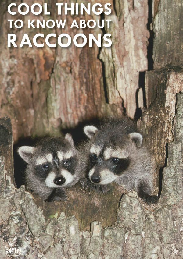 Do you know why raccoons appear to wash their food before eating? Answers to that and more cool things you should know about raccoons | Iowa DNR