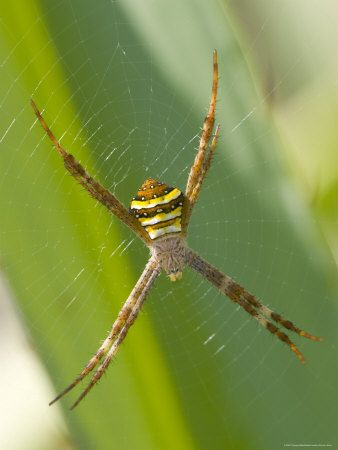 spider types | ... types of spiders the deadliest spiders in australia australia s many  #Spider