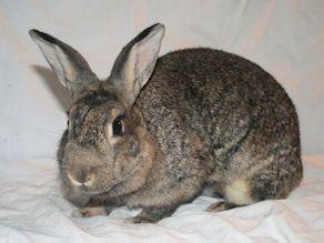 Bonny Bunny is a female rabbit, Bunny Rabbit, located at Rabbit Advocates in Portland, Oregon.