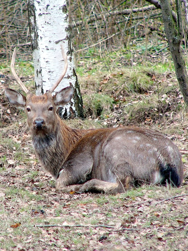 Young dappled deer (Cervus nippon)