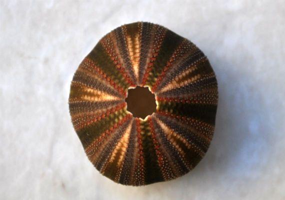 "Seashell Supply - Black Tuxedo Urchin (.5"") - Tripneustes Gratilla, $4.50 (http://www.seashellsupply.com/black-tuxedo-urchin-5-tripneustes-gratilla/)"