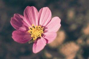 Flower Pink HD Wallpaper