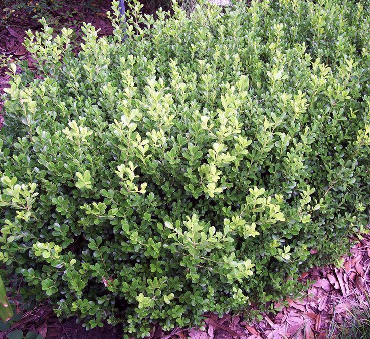 pretty japanese boxwood shrubs unpruned gardening